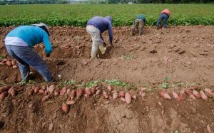Farmworkers in daily peril