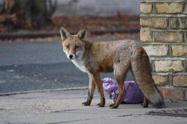 A fox on a sidewalk, next to a bag of trash.