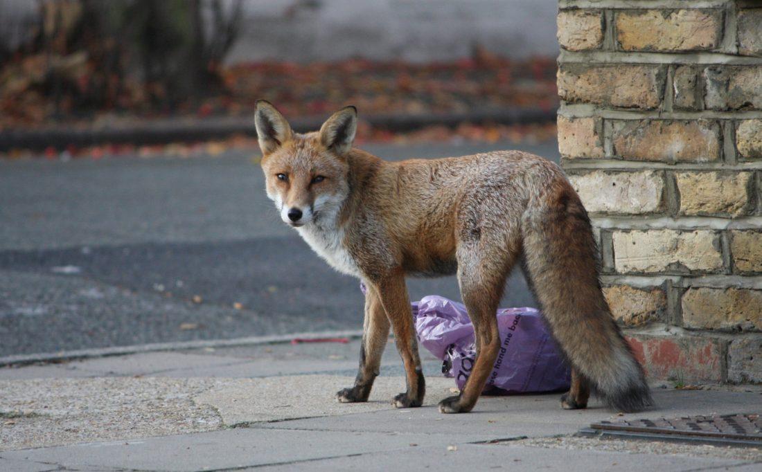 A fox on a sidewalk, next to a bag of trash.